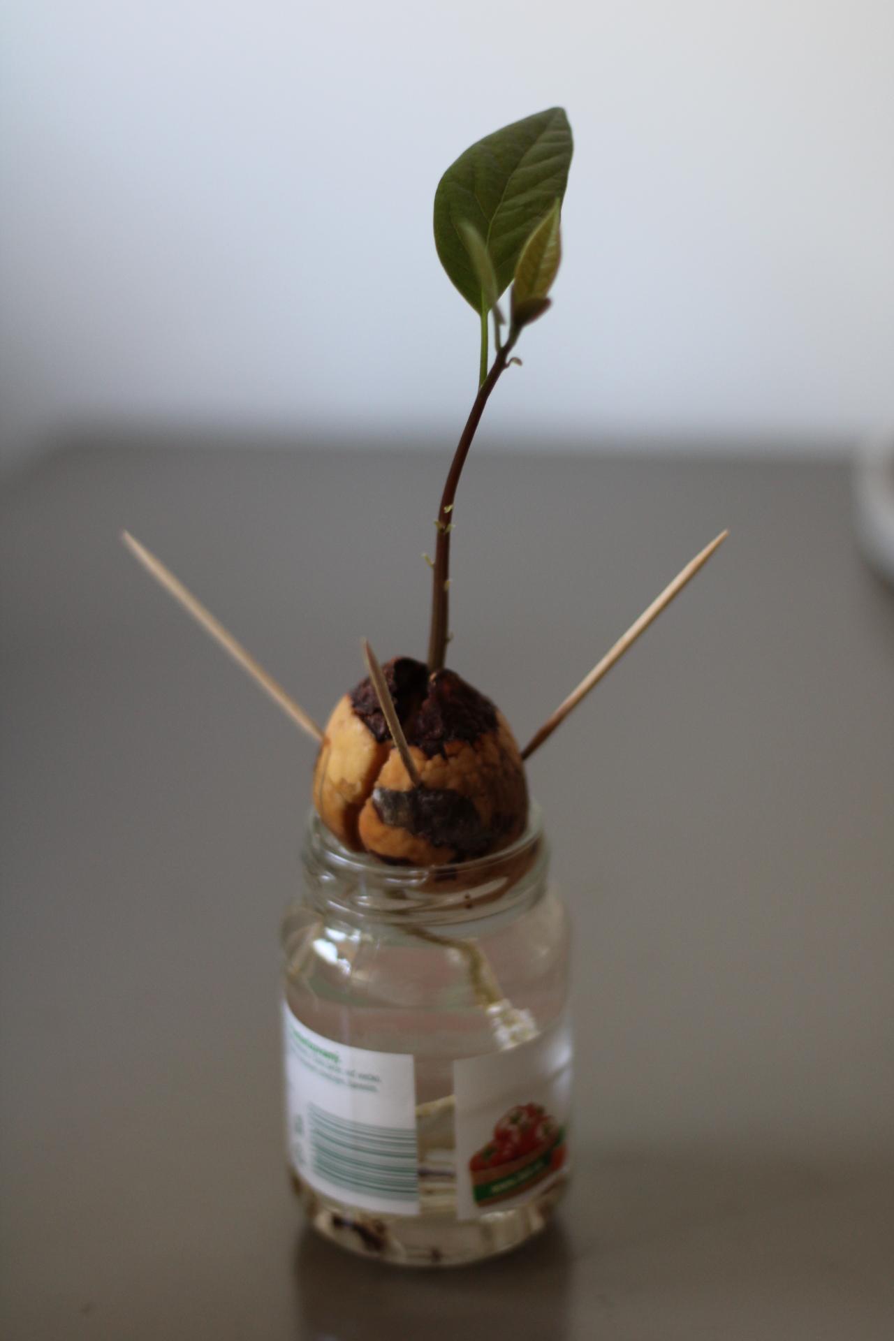 peknebyvat.sk-ako-si-vypestovat-avokado-kostka-vo-vode-rastlinka