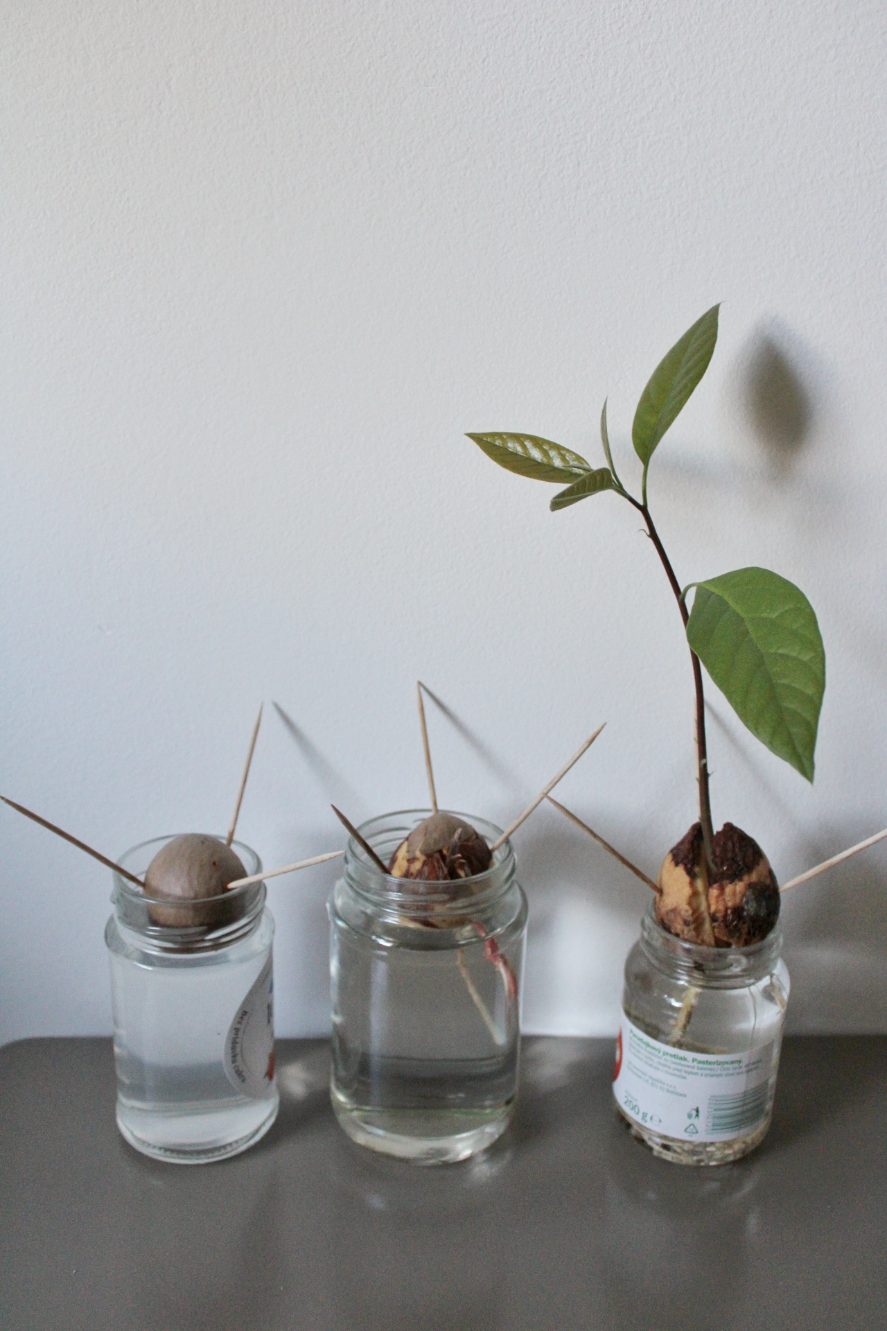 ako-si-vypestovat-avokado-male-listky-peknebyvat.sk